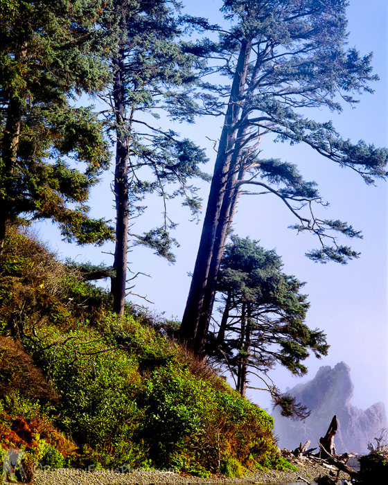 Firs in Light Fog