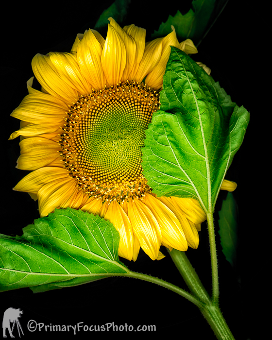 3066V_SUNFLOWER_JPEG_S